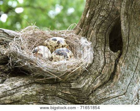Nest filled with three eggs of birds on the trunk of an old tree.