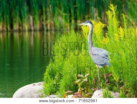 Great Blue Heron