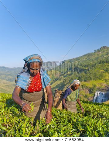 Two tea pickers picking leaves.