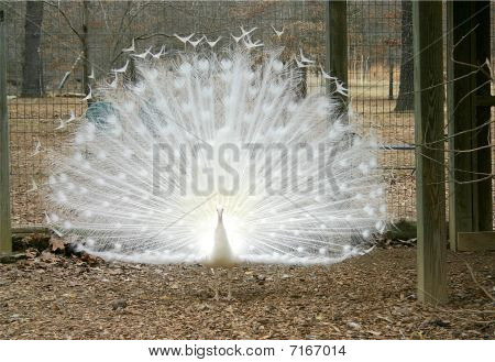 Displayed White Peacock