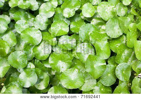 Leafs Of Centella Asiatica