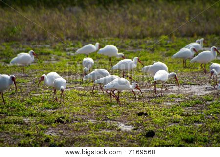 Flock Of White American Ibis