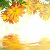 picture of chrysanthemum  - Chrysanthemum  flowers frame on the white with colorful bokeh and water reflection, floral background