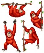 picture of orangutan  - Illustration of orangutan hanging on vines - JPG