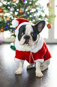 picture of christmas dog  - French bulldog dressed up in santa costume for Christmas - JPG