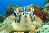 picture of hawksbill turtle  - Turtle  - JPG