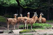 image of lamas  - The Guanaco  - JPG