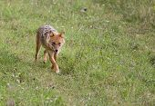 image of jackal  - Golden jackal  - JPG