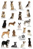 foto of alsatian  - Dog breeds poster in Italian - JPG