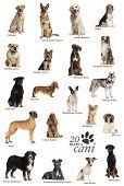 picture of alsatian  - Dog breeds poster in Italian - JPG