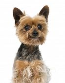 picture of 13 year old  - Old yorkshire terrier  - JPG