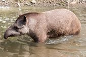 pic of tapir  - South American tapir wading  - JPG