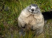 picture of marmot  - Marmot in Hohe Tauern National Park - JPG