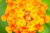 pic of lantana  - Closeup of blossom yellow orange and red lantana camara flower - JPG