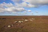 picture of windswept  - a rocky rugged moorland landscape with flowering purple heather on windswept hillsides on the north york moors - JPG