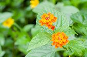 stock photo of lantana  - Closeup of blossom yellow orange and red lantana camara flower - JPG