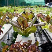 pic of hydroponics  - Organic hydroponic vegetable cultivation farm  - JPG