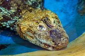 picture of crocodilian  - American alligator - JPG
