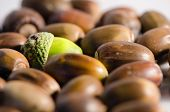 stock photo of acorn  - Green acorn among lot of ripe acorns.