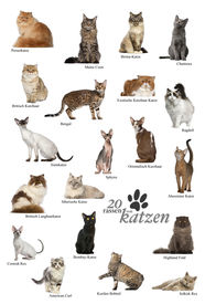 picture of american bombay  - Cat breeds poster in German - JPG