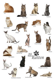 picture of american bombay  - Cat breeds poster in Dutch - JPG