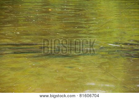 Huge Trout In Pond