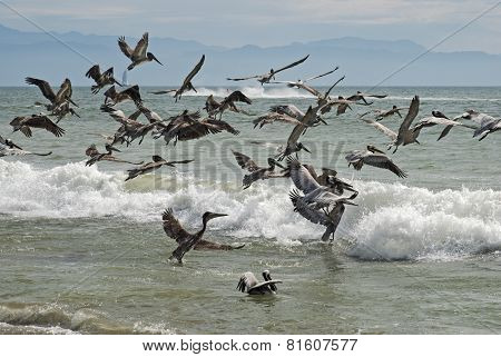 Pelicans Taking Flight