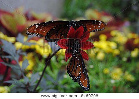 Butterflies Sharing Flower
