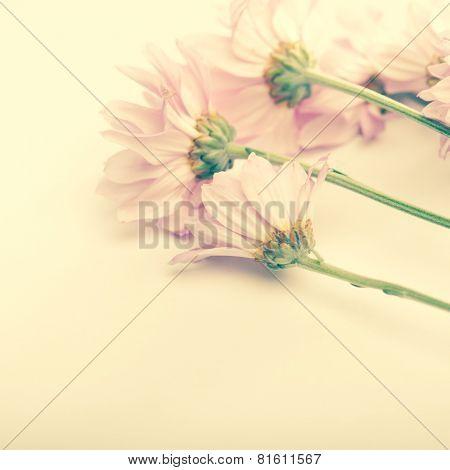 A bouquet of Daisy flowers on plain cream color background. Vintage effect.
