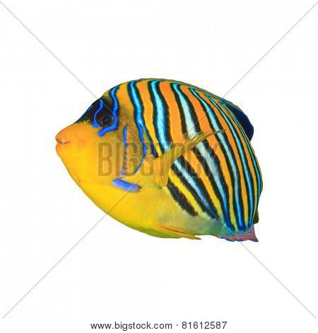 Tropical fishisolated: Regal (Royal) Angelfish
