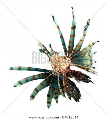 Tropical fish isolated: Lionfish
