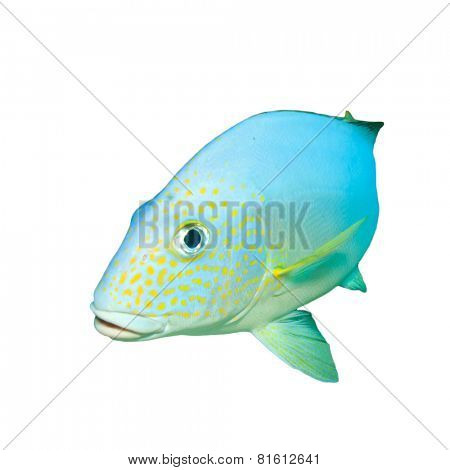 Tropical fish isolated: Silver Sweetlips