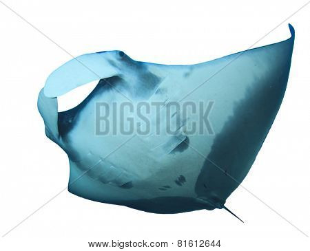 Manta Ray isolated on white