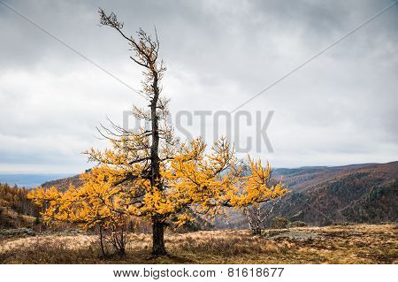 Yellow Larch Tree In The Mountains. Autumn Landscape