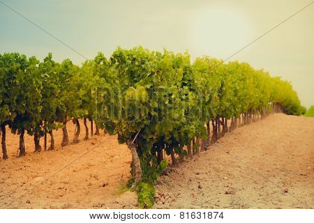 Vineyard Field In Southern France