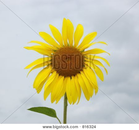 Sunflower on cloudy day