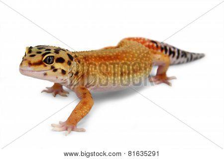 Gecko Eublepharis Macularius