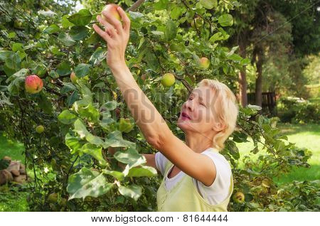 Portrait Of A Woman Collecting Apples In The Garden