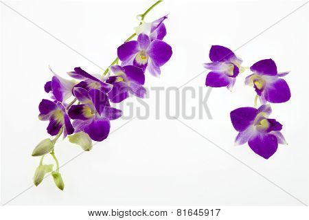 Dark Pink Orchid Flowers On White Background