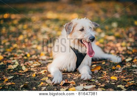 Irish Wolfhound Standing On The Grass