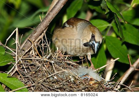 Hawfinch (coccothraustes) By The Nest.