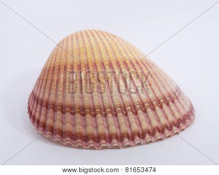 A single seashell on a white background