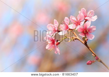 Wild Himalayan Cherry ( Prunus Cerasoides ) ( Sakura In Thailand ) At Phu Lom Lo Mountain
