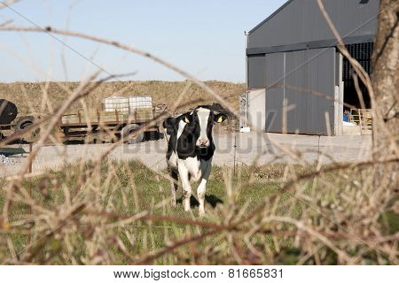 Single Cow In Front Of Farm