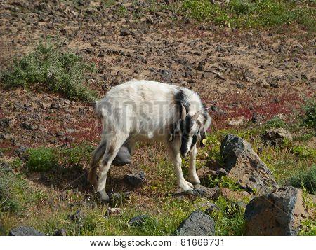 Goat in the fields on Fuerteventura