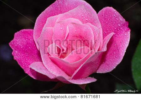 Pink Flower with Dew Drops