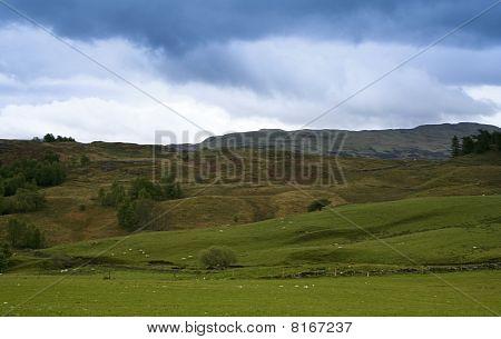 Sheep Grazing Scottish Countryside