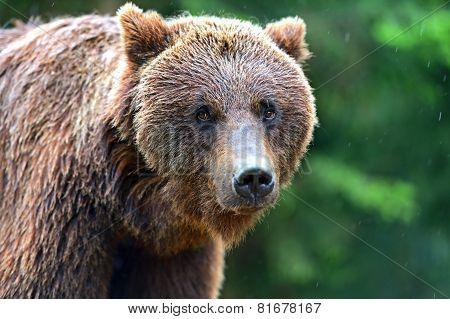 Brown Bears