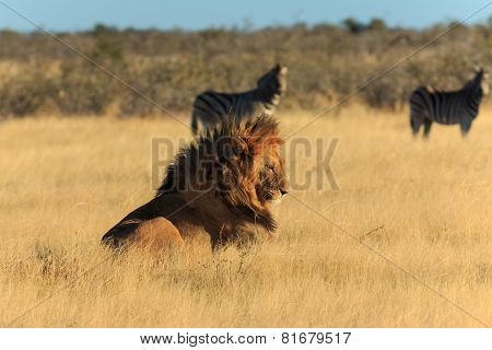 Lion Resting, No Need To Catch Zebra