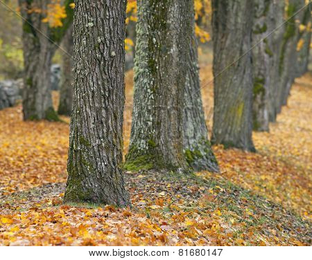 Close up on autumn leaves and chestnut trunks.